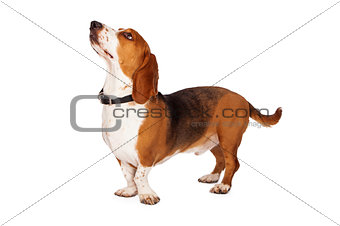 Basset Hound Standing to Side