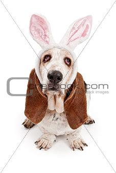 Basset Hound Dog Wearing Bunny Ears