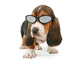 Basset Hound Puppy Wearing Shades