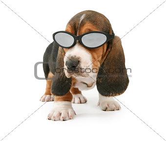 Basset Hound Puppy Wearing Shades