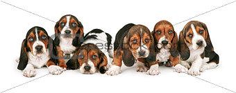 Litter of Basset Hound Puppies