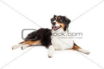 Beautiful Australian Shepherd Dog Laying