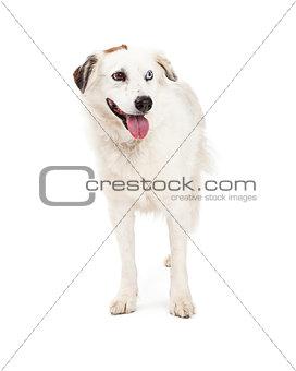 Beautiful Australian Shepherd Mix Breed Dog Standing