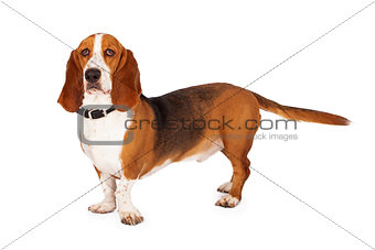 Beautiful Basset Hound Standing