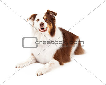 Beautiful Border Collie Laying Down