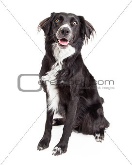Beautiful Border Collie Mix Breed Dog Sitting.