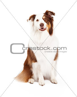 Beautiful Border Collie Sitting