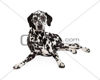 Beautiful Dalmatian Dog Laying