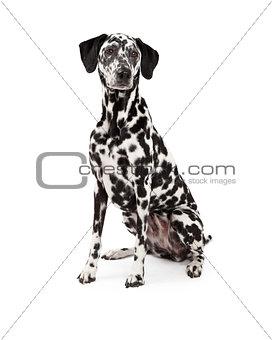 Beautiful Dalmatian Dog Sitting