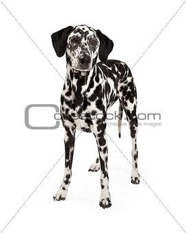 Beautiful Dalmatian Dog Standing