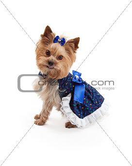 Beautiful Dress on Cute Yorkshire Terrier Dog