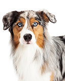 Beautiful Headshot of Australian Shepherd Dog