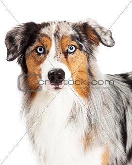 Beautiful Headshot of Australian Shepherd Dog
