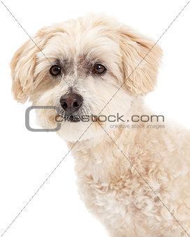 Beautiful Headshot of Maltese and Poodle Mix Dog