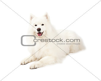 Beautiful Samoyed Dog Laying
