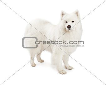 Beautiful Samoyed Dog Standing