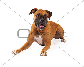 Boxer Dog Laying Happy Expression