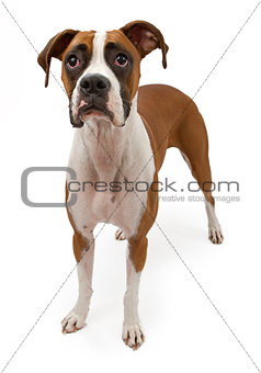 Boxer Dog With Sad Face