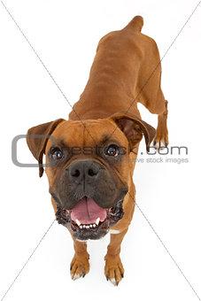 Boxer Dog Skinny