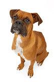 Boxer Dog Isolated on White