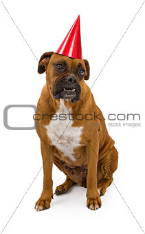 Boxer Dog Wearing Red Birthday Hat
