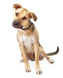 Boxer Mix Puppy Sitting Tilting Head