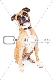 Boxer Mixed Breed Funny Expression