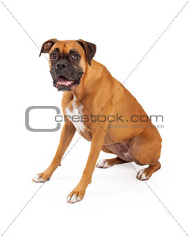 Boxer Sitting and Looking Into Camera