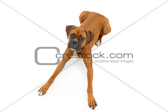 Boxer Dog Laying Down With Legs Extended