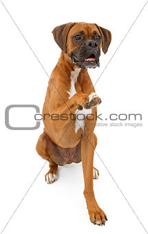 Boxer Dog Shaking Hands