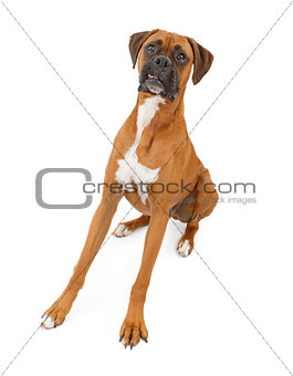 Boxer Dog With Legs Extended and Teeth Out