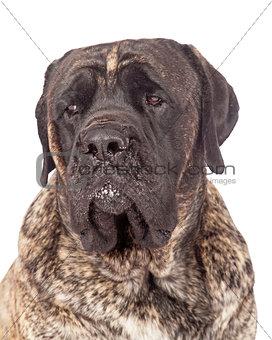Brindle English Mastiff Dog Closeup