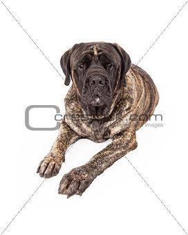 Brindle English Mastiff Dog Laying