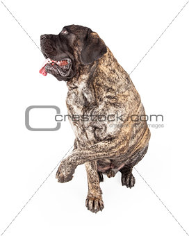 Brindle English Mastiff Dog Raising Paw