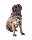 Brindle English Mastiff Dog Sitting