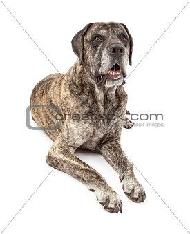 Brindle Mastiff Dog Drooling