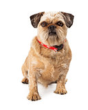 Brussels Griffon Looking at Camera