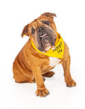 Bulldog Wearing Adopt Me Bandana