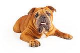 Bulldog laying with underbite