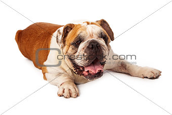 Tired Bulldog Laying on White Background