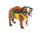 Bulldog Wearing Turtle Costume