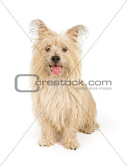 Cairn Terrier Dog Isolated on White