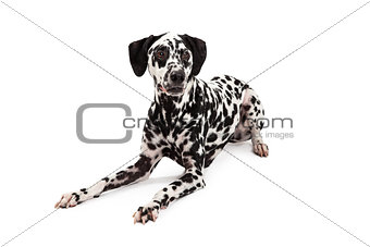 Calm Dalmatian Dog Laying