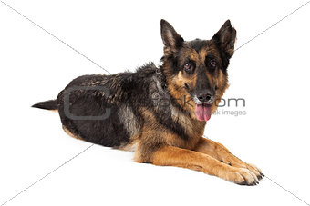 Calm German Shepherd Dog Laying With Tongue Hanging Out