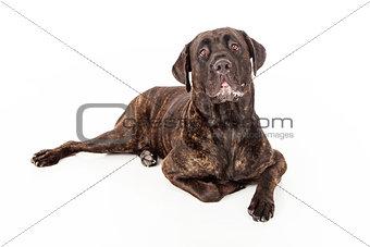 Cane Corso Dog Slobbering