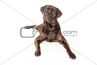 Cane Corso Dog Laying Down