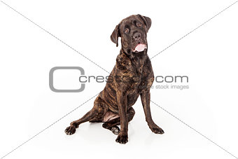Cane Corso Dog Sitting to Side