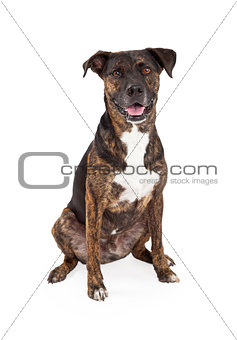 Cattle Dog Mixed Breed Sitting