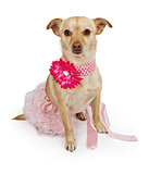 Chihuahua mix dog wearing a pink tutu and flower collar