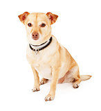 Chihuahua and Terrier Mixed Breed Dog